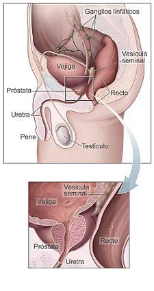 225px-Prostata