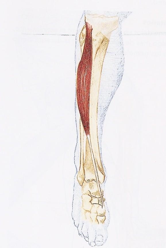 Fisioterapia Valencia » Estiramiento Tibial anterior