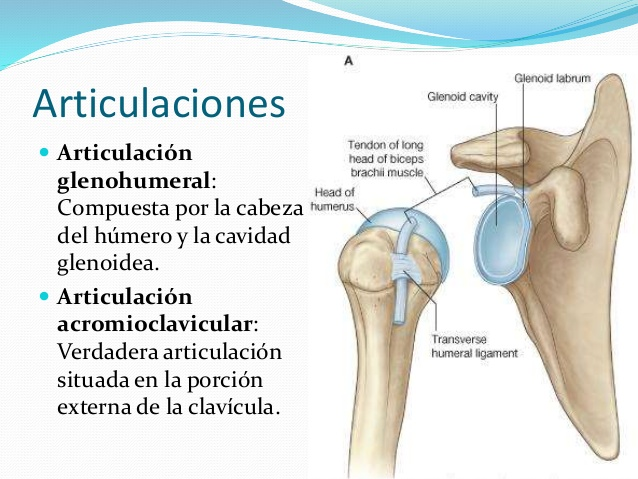 Fisioterapia Valencia » LESIONES DEL HOMBRO: IMPINGEMENT SUBACROMIAL ...